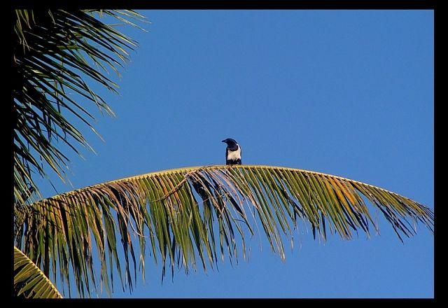 Zdjęcia: Manakara, Toamasina, Kruk srokaty (<I>Corvus albus</I>), MADAGASKAR