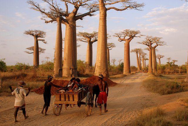 Zdjęcia: okolice Morondawy, aleja baobabów, MADAGASKAR