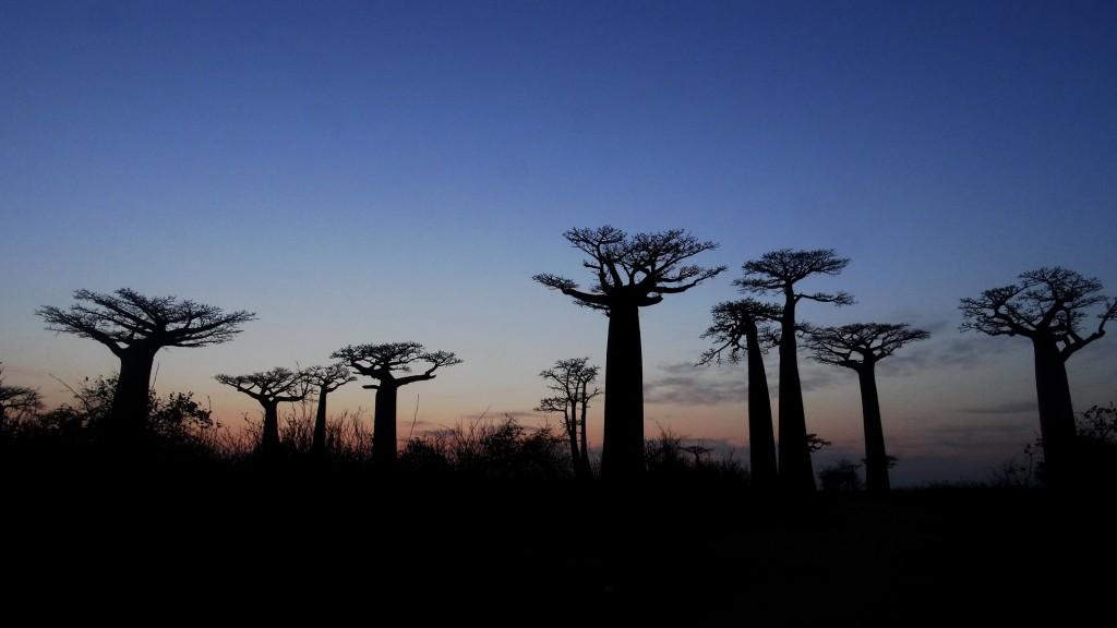 Zdjęcia: Aleja baobabów, Morondave, Zachód słońca z baobabami, MADAGASKAR