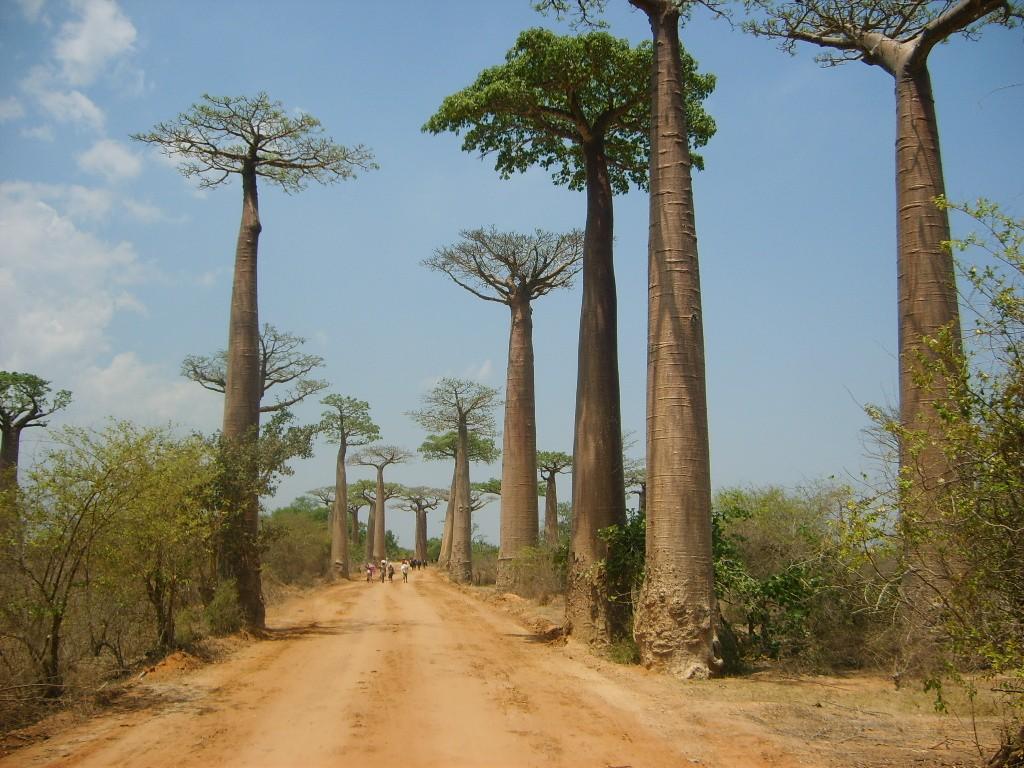 Zdjęcia: W pobliżu miasta Morongawa, Zachodni brzeg Madagaskaru, Aleja baobabów  Dodaj do konkursu, MADAGASKAR