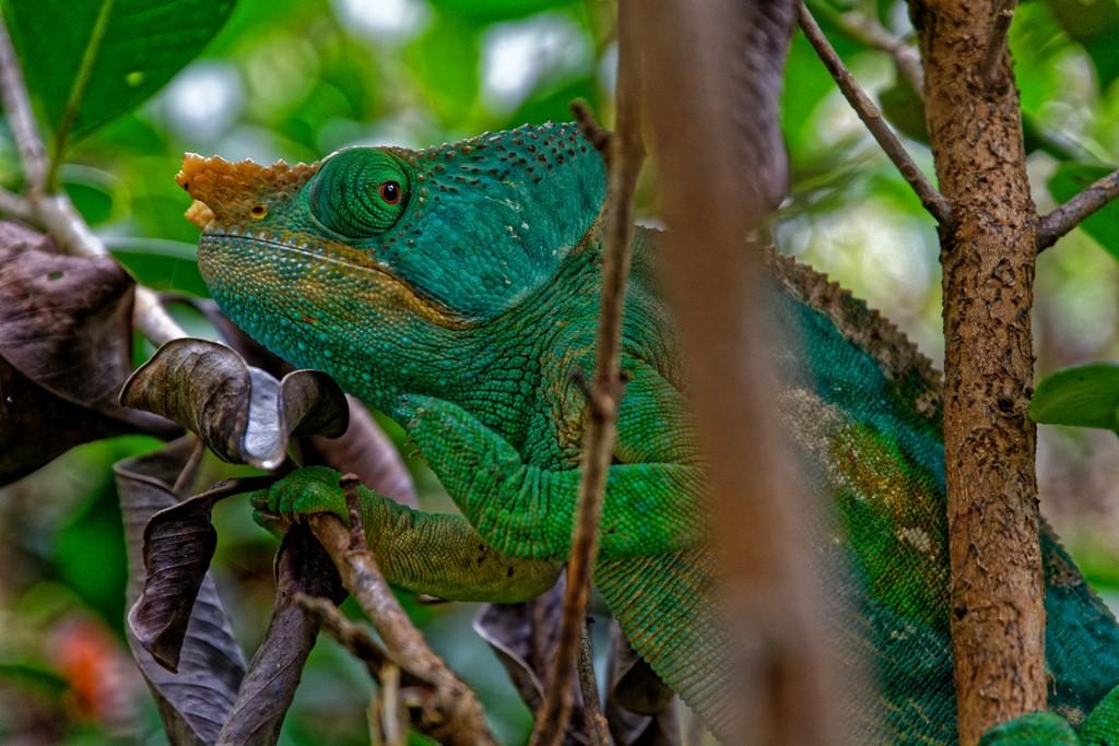 Zdjęcia: Andasibe National Park, Andasibe, Kameleon, MADAGASKAR
