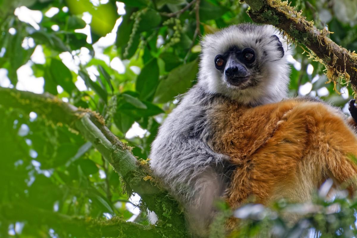 Zdjęcia: Andasibe National Park, Andasibe, Diademed sifaka, MADAGASKAR