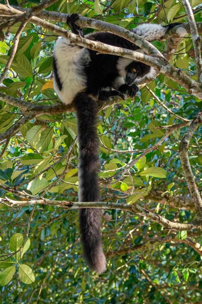 Zdjęcia: Palmarium Reserve, Madagaskar wschodni, Co mi tak zwisa?, MADAGASKAR