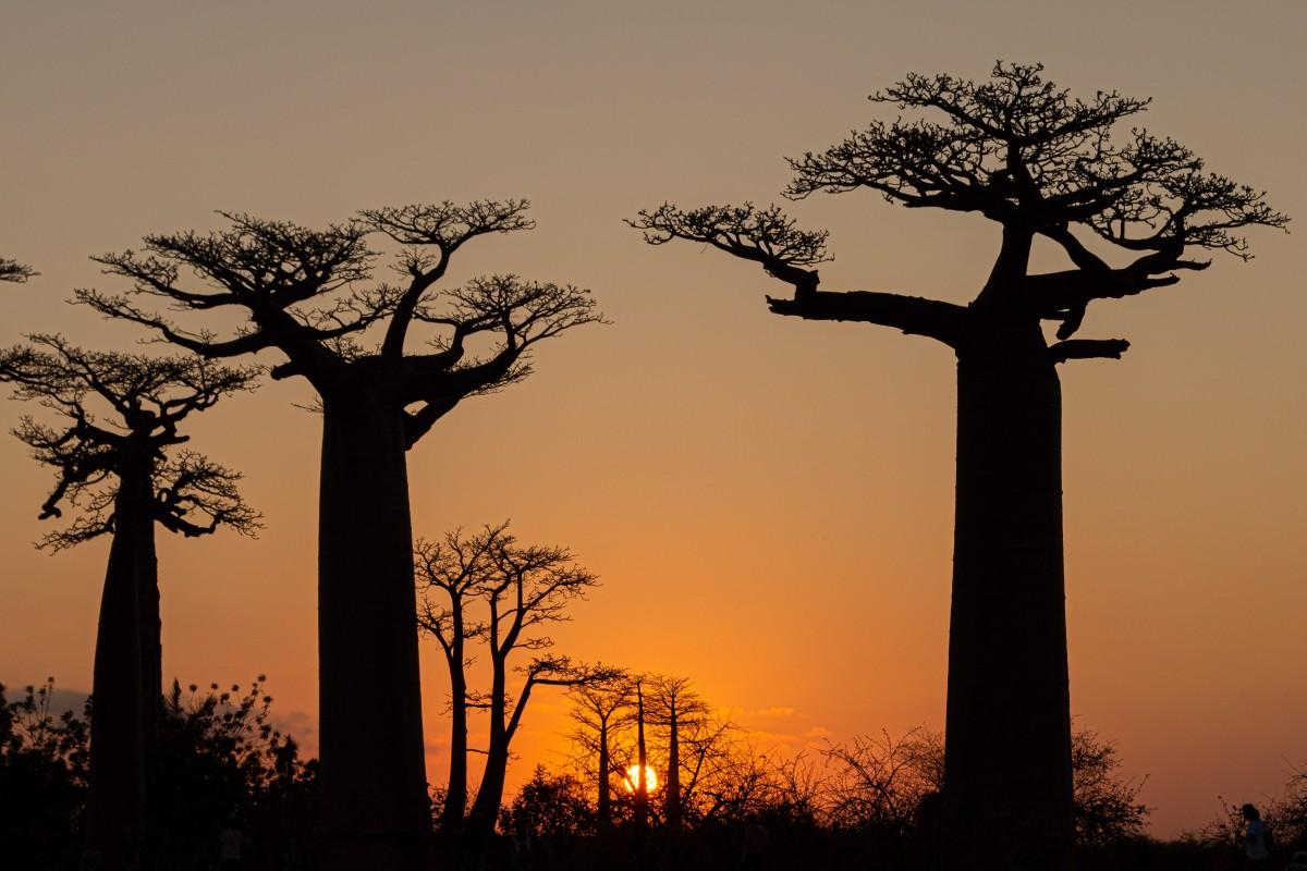 Zdjęcia: Aleja baobabów, Menabe, O zachodzie, MADAGASKAR