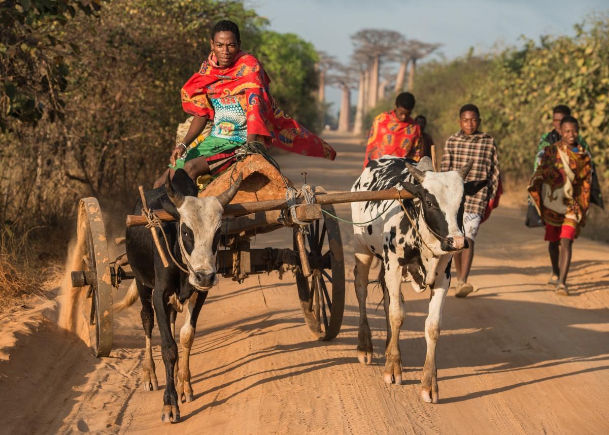Zdjęcia: Avenue des Baobabs, Zachodni, Rydwan ... malgaski 😁, MADAGASKAR