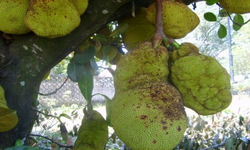 Zdjecie MADAGASKAR / Madagaskar / Tomasina / Drzewo chlebowe