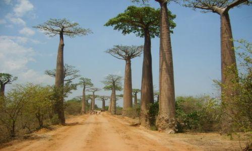 Zdjecie MADAGASKAR / Madagaskar / W pobliżu miasta Morondawa / Aleja baobabów
