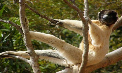 MADAGASKAR / Antananarivo / 25 km od stolicy / LEMURY - Bo lemur�w nigdy nie za ma�o