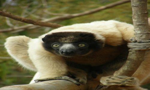 Zdjecie MADAGASKAR / Antananarivo / 25 km od stolicy / LEMURY - Bo lemurów nigdy nie za mało (2)