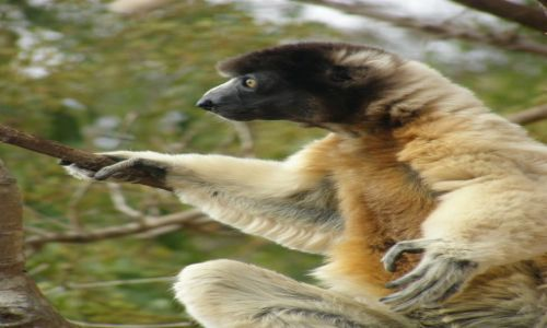 Zdjecie MADAGASKAR / Antananarivo / 25 km od stolicy / LEMURY - Bo lemurów nigdy nie za mało (3)