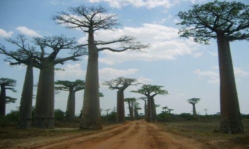 Zdjecie MADAGASKAR / - / Morondawa / KONKURS   Baoba
