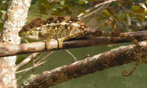 MADAGASKAR / Toamasina / rezerwat Perinet / Kameleon2
