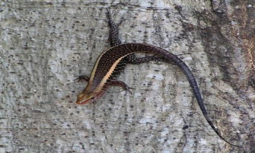 MADAGASKAR / zachodni Madagaskar / n/rzeką Tsiribihina / Jaszczurka <I>Zonosaurus laticaudatus</I>