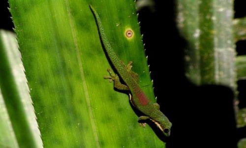 MADAGASKAR / Toamasina / rezerwat Perinet / Phelsuma lineata,
