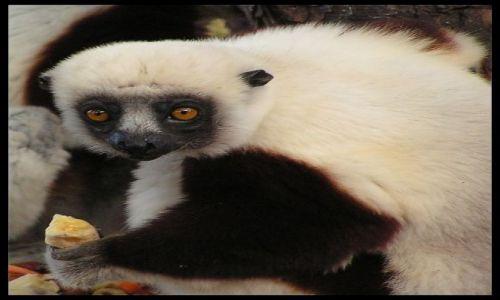MADAGASKAR / Antananarivo / Antananarivo / Sifaka (<I>Propithecus verreauxi coquereli</I>)