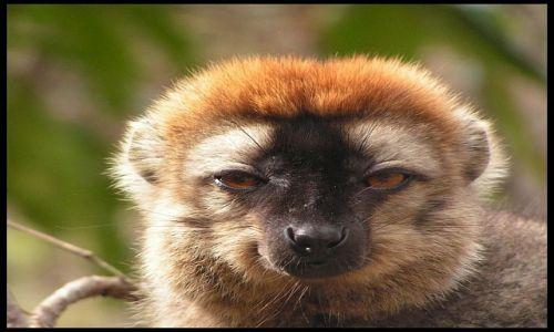 MADAGASKAR / Fianarantsoa / P. N. Isalo / Lemur rudy (<I>Eulemur fulvus rufus</I>)