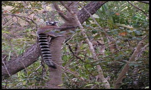 MADAGASKAR / Fianarantsoa / P. N. Isalo / Lemur catta