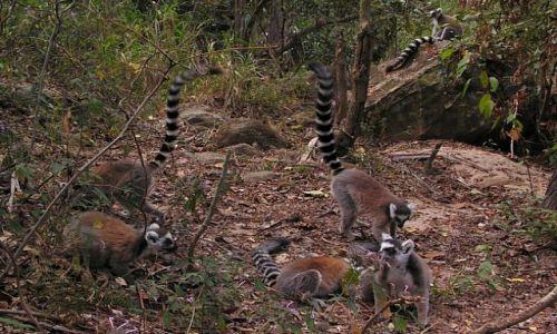 MADAGASKAR / Fianarantsoa / P. N. Isalo / Żerujące lemury katta