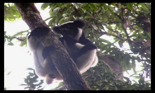 MADAGASKAR / Toamasina / rezerwat Perinet / Lemur indri (Indri indri)