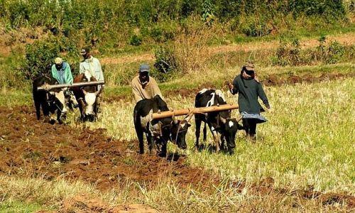 Zdjecie MADAGASKAR / Antananarivo / Betafo / Ciężka praca...