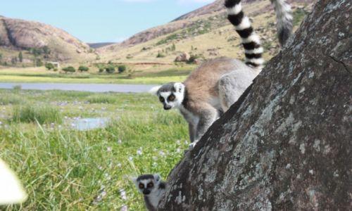 MADAGASKAR / - / PN Ranomafana / Lemur zwany Rollo