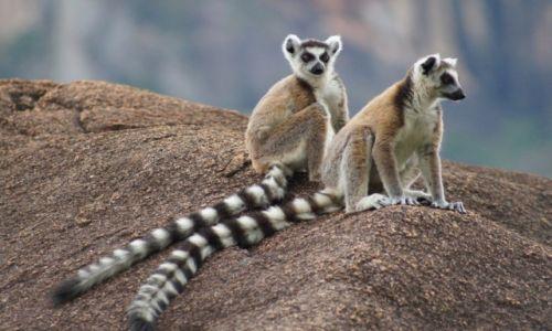 MADAGASKAR / - / Tsaranoro NP / endemity: katta
