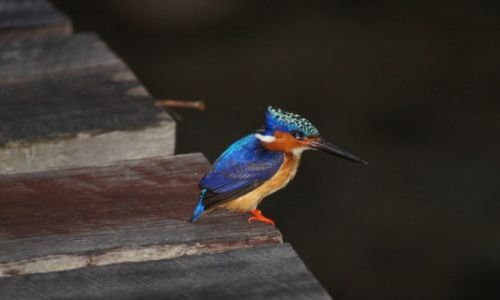 Zdjecie MADAGASKAR / - / St.Marie / Malagasy Kingfisher - zimorodek