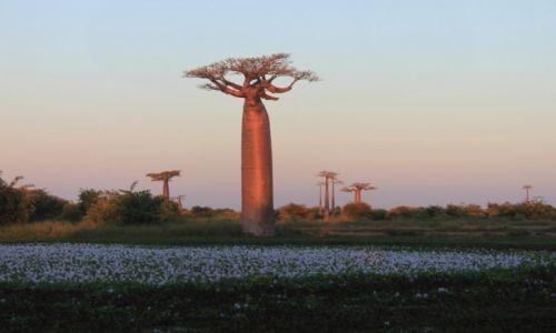 MADAGASKAR / - / Aleja Baobabów / Aleja Baobabów