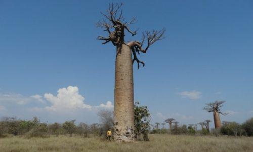 Zdjecie MADAGASKAR / Morondave / Aleja baobabów / Wśród kolosów