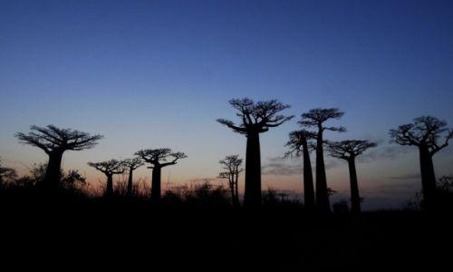 Zdjecie MADAGASKAR / Morondave / Aleja baobabów / Zachód słońca z baobabami
