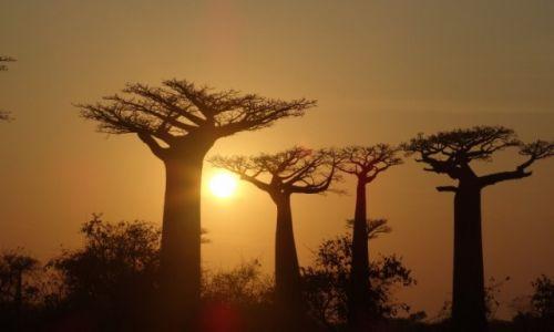 Zdjecie MADAGASKAR / Morondave / Aleja baobabów / Zachód w koronach królów