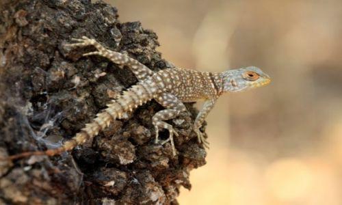 Zdjęcie MADAGASKAR / środkowy zachód / park forestiere de kirindi / ja, jaszczurka