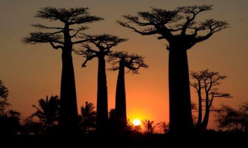 MADAGASKAR / środkowy wschód / aleja baobabów / zacxhód w alei baobabów