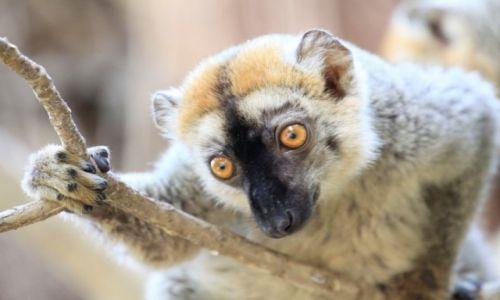 Zdjecie MADAGASKAR / centralna część wyspy / rzeka Tsiribinha / lemur madagaskarski