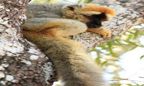 Zdjecie MADAGASKAR / centralna część wyspy / Park Forestiere De Kirindi / lemur patrzy z góry
