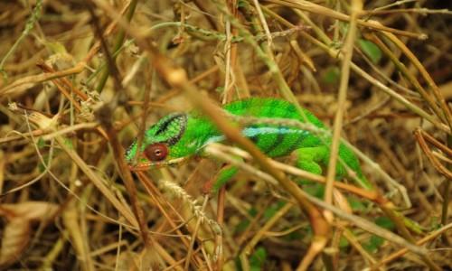 Zdjecie MADAGASKAR / polnoc / Antsiranana Park / Kameleon z Madagaskaru
