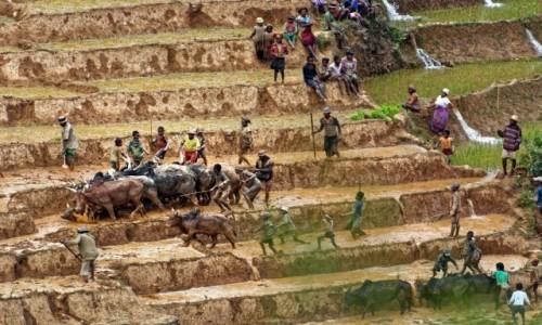 Zdjęcie MADAGASKAR / Ranomafana / Ranomafana / Na polu ryżowym