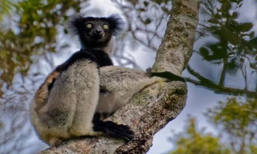 MADAGASKAR / Andasibe / Andasibe National Park / Indris