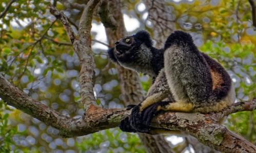 Zdjecie MADAGASKAR / Andasibe / Andasibe National Park / Indris 2