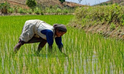 Zdjęcie MADAGASKAR / Antsirabe / okolice Antsirabe / W pracy na polu ryżowym