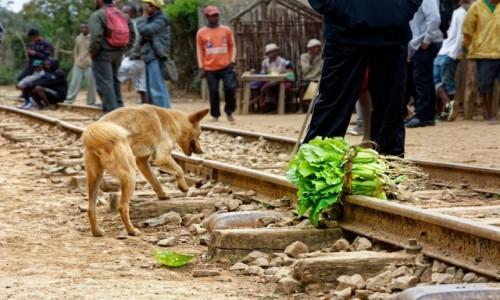 Zdjecie MADAGASKAR / Fianarantsoa-Manakara / gdzieś na trasie pociągu / Pies i warzywo