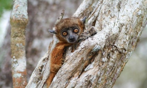 Zdjecie MADAGASKAR / - / Zombiste National Park / Lepilemur