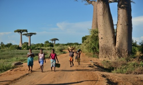 Zdjecie MADAGASKAR / Morondawa / Aleja baobabów / Na alei baobabów