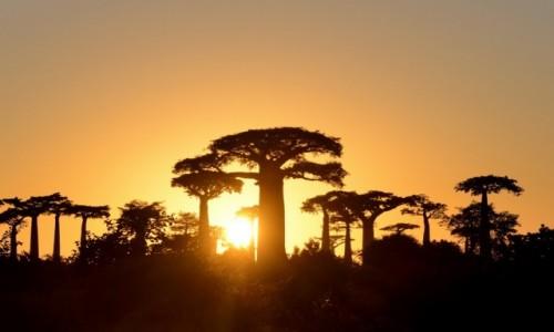 Zdjecie MADAGASKAR / Morondawa / Aleja baobabów / Wschód słońca