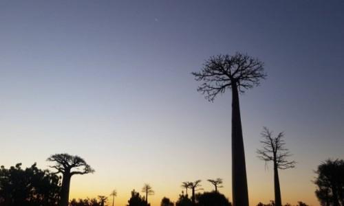 Zdjecie MADAGASKAR / morondawa  / morondawa / Baobaby