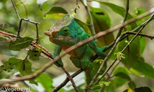 MADAGASKAR / RANOMAFANA / Madagaskar / Kameleon