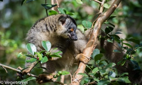 Zdjecie MADAGASKAR / Andasibe / Andasibe / Lemur z Madagaskaru