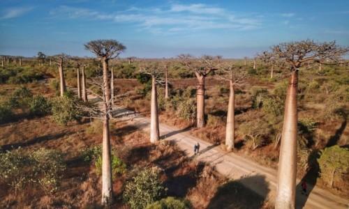 MADAGASKAR / Toliara / Aleja Baobabów / Aleja Baobabów