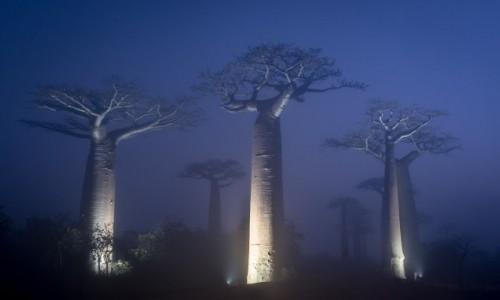MADAGASKAR / Menabe / Aleja Baobabów / iluminacja...