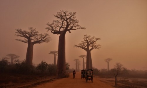 Zdjecie MADAGASKAR / Zachodni / Avenue des Baobabs / L'aurore